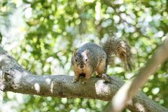 Brown squirrel sitting in a tree. Cute brown squirrel sitting in a tree with green leaves and blue sky in the background during the summer stock image