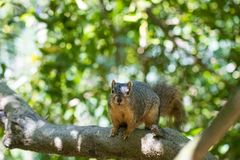 Brown squirrel sitting in a tree. Cute brown squirrel sitting in a tree with green leaves and blue sky in the background during the summer royalty free stock photo