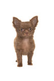 Cute brown standing chihuahua puppy Stock Photos