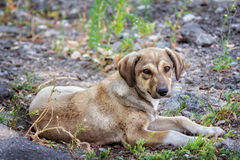 Cute brown stray dog. Laying on the ground outdoors Stock Images