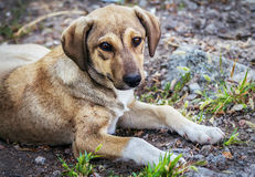 Cute brown stray dog. Laying on the ground outdoors Royalty Free Stock Photography