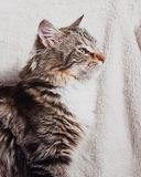 Cute brown striped cat sitting profile portrait. On white background royalty free stock images