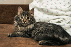 Cute brown tabby kitten investigating room. Baby cat sniff air. Cute fur kitten on bed Royalty Free Stock Images