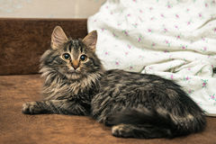 Cute brown tabby kitten investigating room. Baby cat sniff air. Cute fur kitten on bed Stock Images