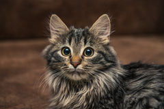Cute brown tabby kitten investigating room. Baby cat sniff air. Cute fur kitten on bed Royalty Free Stock Photography