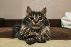 Cute brown tabby kitten investigating room. Baby cat sniff air. Cute fur kitten on bed Stock Photo