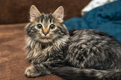 Cute brown tabby kitten investigating room. Baby cat sniff air. Cute fur kitten on bed Stock Image