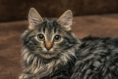 Cute brown tabby kitten investigating room. Baby cat sniff air. Cute fur kitten on bed Royalty Free Stock Photos