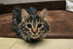 Cute brown tabby kitten investigating room. Baby cat sniff air. Cute fur kitten on bed Stock Photos