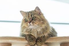 Cute brown tabby persian cat Royalty Free Stock Images