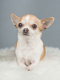 Cute brown and white chihuahua dog lying down on a grey backgrou Stock Images