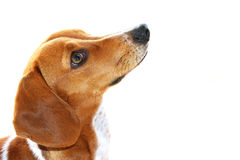 Cute brown and white dachshund puppy looking up Stock Images
