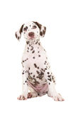 Cute brown and white dalmatian puppy Stock Photo
