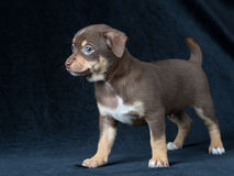 Cute brown with white spots and green eyes chihuahua puppy. Cute brown with white spots and green eyes chihuahua puppie on a dark background Stock Photography