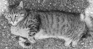 Cute brown white tabby stray cat female lying. Adorable fur kitty cat, lying in the garden Royalty Free Stock Images