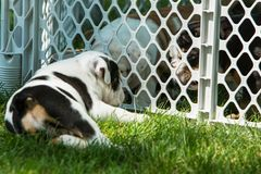 Cute brown wrinkled bulldog puppy in a fenced play area looking at another puppy. Adorable English bulldog puppies behind a pet gate , very wrinkled and looking Royalty Free Stock Photo