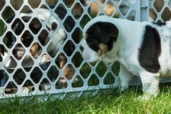 Cute brown wrinkled bulldog puppy in a fenced play area looking at another puppy. Adorable English bulldog puppies behind a pet gate , very wrinkled and looking Royalty Free Stock Photography