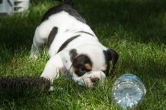 Cute brown wrinkled bulldog puppy in a fenced play area looking at a water bottle. Adorable English bulldog puppies behind a pet gate , very wrinkled and looking Royalty Free Stock Images