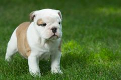 Cute brown wrinkled bulldog puppy in the grass looking at something. Adorable English bulldog puppy standing in the grass looking at something royalty free stock images