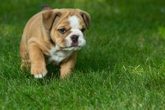 Cute brown wrinkled bulldog puppy in the grass, standing and facing right. At the camera royalty free stock photo