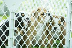 Cute brown wrinkled bulldog puppy with littermates in a faenced play area. Adorable English bulldog puppies behind a pet gate , very wrinkled and looking sad Stock Image