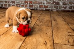 Cute brown wrinkled bulldog puppy in the studio,looking forwardwith a red toy. Adorable English bulldog puppy in the studio, looking at something to the forward royalty free stock images