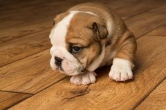 Cute brown wrinkled bulldog puppy in the studio, looking left. Adorable English bulldog puppy in the studio, looking at something to the left stock image