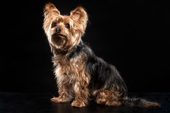 Cute Brown Yorkie Silky Mutt Obeying Stock Image