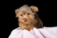 Cute brown Yorkshire terrier in a bed of pink blanket against bl Royalty Free Stock Images