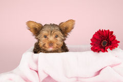Cute brown Yorkshire terrier in a bed pink blanket against and r Stock Photos