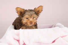 Cute brown Yorkshire terrier in a bed of pink blanket against so Royalty Free Stock Photography