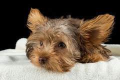 Cute brown Yorkshire terrier in a bed of white blanket against b Royalty Free Stock Photos
