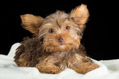 Cute brown Yorkshire terrier in a bed of white blanket against b Stock Photo