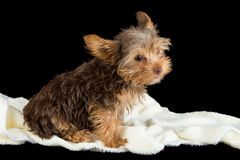 Cute brown Yorkshire terrier in a bed of white blanket against b Royalty Free Stock Image