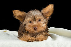 Cute brown Yorkshire terrier in a bed of white blanket Stock Photos