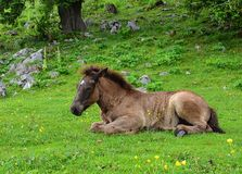 Cute brown young horse resting on a grass. A brown young horse resting on a green grass with yellow flowers stock photography