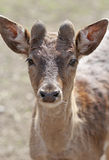 The cute brownish roe deer portrait. The cute brownish roe deer close up portrait Royalty Free Stock Photos