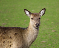 The cute brownish roe deer portrait. The cute brownish roe deer close up portrait Royalty Free Stock Images