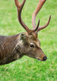 The cute brownish roe deer portrait. The cute brownish roe deer close up portrait Stock Images