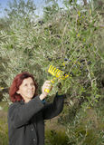 Cute brunette woman collecting olives Stock Image