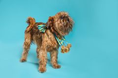 Cute Brussels Griffon dog with champion medals on blue background