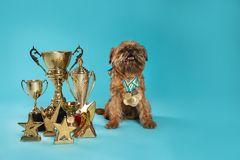 Cute Brussels Griffon dog with champion trophies and medals on light blue background
