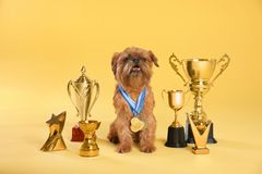 Cute Brussels Griffon dog with champion  and medals on yellow background