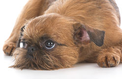 Cute brussels griffon puppy Royalty Free Stock Images