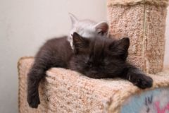 Cute btitish kittens sleeping on the cat house. The kittens sleep in the cat house at each other. two kittens sleeping on the cat house Royalty Free Stock Photography