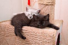 Cute btitish kittens sleeping on the cat house. The kittens sleep in the cat house at each other. two kittens sleeping on the cat house Royalty Free Stock Images