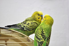 Cute budgerigars Stock Photos