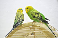 Cute budgerigars Royalty Free Stock Image