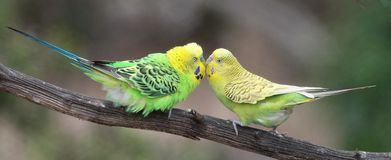 Cute Budgie Pair Royalty Free Stock Photos