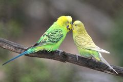 Cute Budgie Pair Stock Images